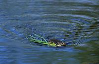 Bisam, Bisamratte, Bisam-Ratte, transportiert schwimmend Pflanzenmaterial, Ondatra zibethicus, Ondatra zibethica, muskrat