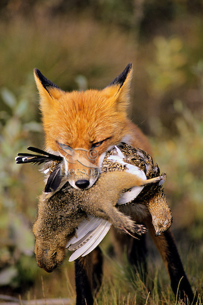 Red Fox carrying arctic ground squirrel and ptarmigan back to pups (at den).  Alaska.  Summer.