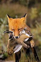 Red Fox carrying arctic ground squirrel and ptarmigan back to pups (at den).  Alaska.  Summer.