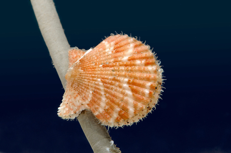 Queen Scallop - Aeqiopecten opercularis