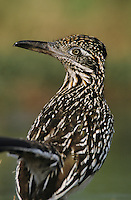 Greater Roadrunner, Geococcyx californianus,adult, Starr County, Rio Grande Valley, Texas, USA, May 2002