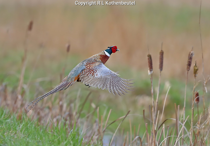 A ring-necked pheasant takes flight from a cattail marsh.<br />