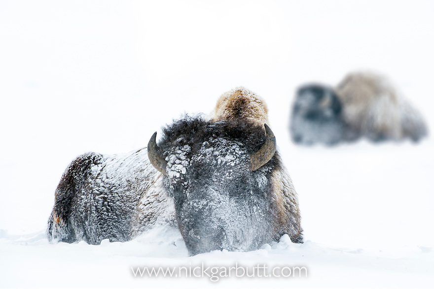 American Bison (Bison bison) resting in snow storm. Gibbon Meadows, Yellowstone National Park, Wyoming, USA. January.