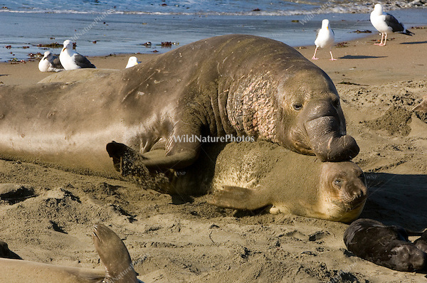 Northern Elephant Seals (Mirounga angustirostris) mating; Central California