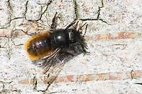 Gehörnte Mauerbiene, Weibchen, Osmia cornuta, European orchard bee, orchard bee, hornfaced bee, female, L'osmie cornue, Mauerbiene, Mauerbienen, Mason bee, mason bees