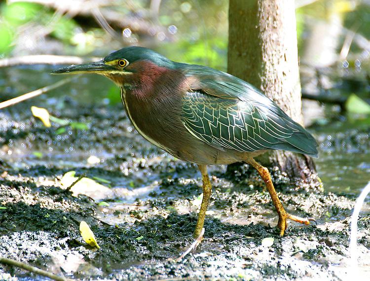Green heron walking at edge of pond