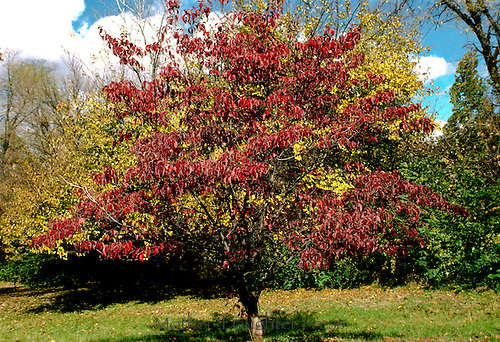 Four seasons of a Dogwood tree, Conus florida: Red foliage  on a fall day