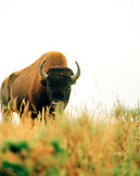 USA, Wyoming, bison grazing in Hayden Valley, Yellowstone National Park
