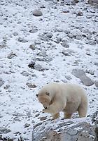 Polar bear (Ursus maritimus) preening on rocky outcrop, Svalbard, Norway.