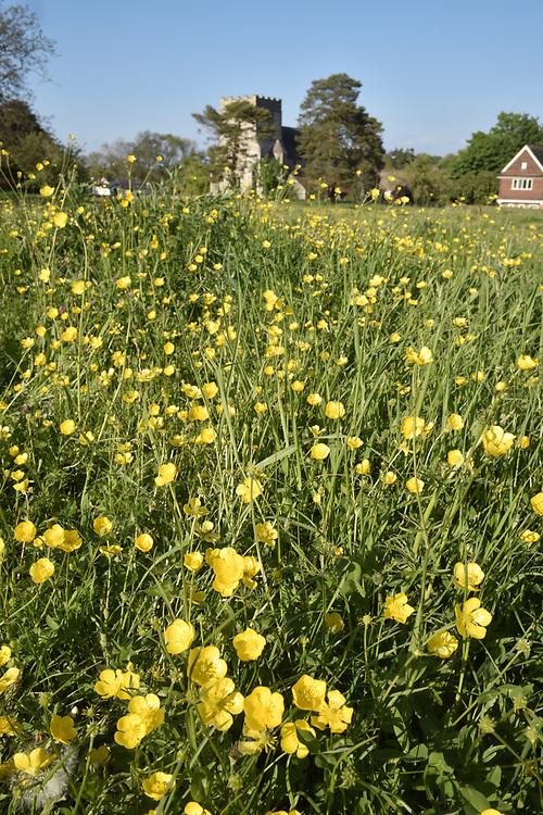 Meadow Buttercup - Ranunculus acris - Goring meadow, Berkshire