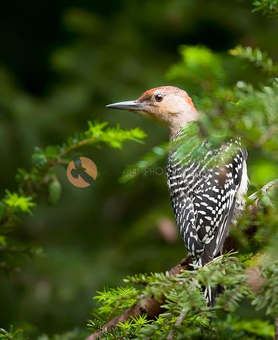 Red-Bellied Woodpecker in hemlock tree