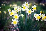 Daffodils in full bloom inside the C.W. Nicol Afan Woodland Trust, native woodland that Nicol began buying up 25 years ago, near his home in Kurohime, Nagano Prefecture, Japan on 10 May 2010..Photographer: Robert Gilhooly