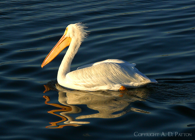 Adult American white pelican in non-breeding plumage