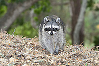 The Raccoon (Procyon lotor), also known as Common Raccoon, North American Raccoon, Northern Raccoon, Washing Bear or informal Coon, is a medium-sized mammal native to North America and the most widespread species of the family Procyonidae. Two of the most distinctive characteristics of the raccoon are its facial mask around the eyes and extremely sensitive front paws; they are also known for their good memory. Often raccoons live together in small, loose groups. (Wikipedia_Raccoons)
