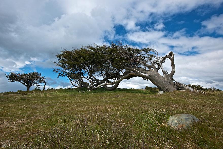 Bandera (Flag) Tree of Tierra del Fuego, Argentina