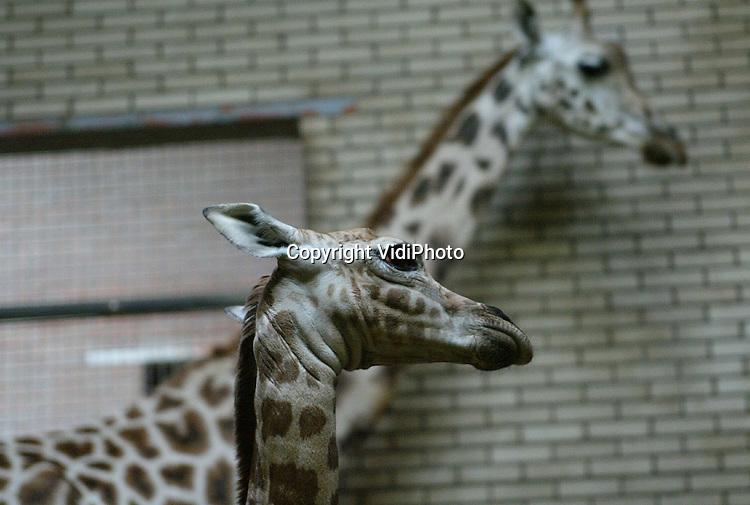Foto: VidiPhoto..RHENEN - In Ouwehands Dierenpark in Rhenen is dinsdag een giraffejong geboren. Bezoekers konden het dier vrijdag samen met moeder Majanga bewoneren in het Giraffehuis van het dierenpark. De giraffe, een mannetje, woog bij de geboorte 75 kilo. Ouwehands is blij met de geboorte omdat de Rothschild giraffe een bedreigde diersoort is.