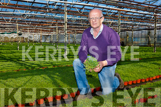 Joe Sugrue from Cools Glasshouse's in Ballinskelligs pictured here in a sea of Shamrock Green, destined for the Irish and International markets.
