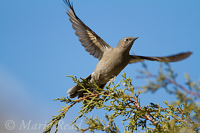 Townsend's Solitaire (Myadestes townsendi), takes flight from Western Juniper in autumn, Mono Lake Basin, California, USA