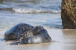 Children's Pool, La Jolla, California; a mother Harbor Seal (Phoca vitulina) and her pup bond by touching noses after they emerge from the shallow water and onto the sandy beach