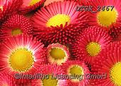 Gisela, FLOWERS, BLUMEN, FLORES, photos+++++,DTGK2467,#f#, EVERYDAY