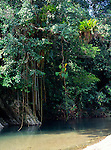 Luxuriant vegetation with creepers Spanish River Blue Mountains Jamaica