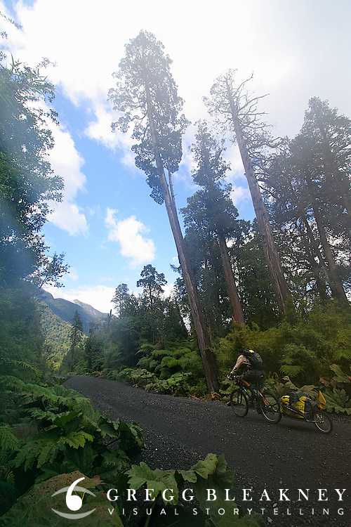 Don Thomas cycles past a Alerce tree stand (the second-longest living organism on Earth) on the Carretera Austral in Pumalin Park - Ruta Austral - Chile - South America