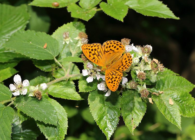Silver-washed Fritillary Argynnis paphia Wingspan 60mm. An iconic woodland butterfly associated with sunny rides and clearing; adults are often seen feeding on flowers of Bramble and thistles. Adult has orange-brown upperwings with black markings; underside of hindwing has silvery sheen. Flies June–August. Larva feed on violets.  Status Locally common woodland species in S and SW England and Ireland.