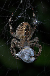 Garden Spider, Araneus diadematus, on web cocooning prey victim, with silk, caught, predation, predator.United Kingdom....