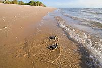 Australian flatback sea turtle hatchlings, Natator depressus (c-r), endemic to Australian continental shelf, crawl down nesting beach to ocean and plunge into surf, Crab Island, Torres Strait, Queensland, Australia