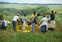 MUS, Mauritius, Savanne, Grand Bois: Kartoffelernte | MUS, Mauritius, Savanne, Grand Bois: harvesting potatoes