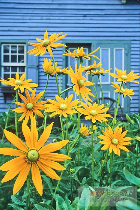 Blooming Daisies, backyard garden, Mauricetown, New Jersey