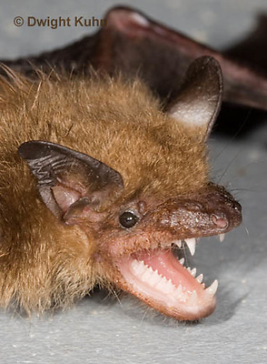 MA20-792z  Big Brown Bat threatening with mouth open showing teeth, Eptesicus fuscus