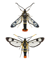 Welsh Clearwing - Synanthedon scoliaeformis<br /> 52.005 BF376