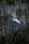 FL: Florida Everglades National Park, bird, egret.  .Photo Copyright: Lee Foster, lee@fostertravel.com, www.fostertravel.com, (510) 549-2202.Image: flever257