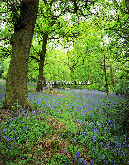 Spring Woodland and carpet of bluebells
