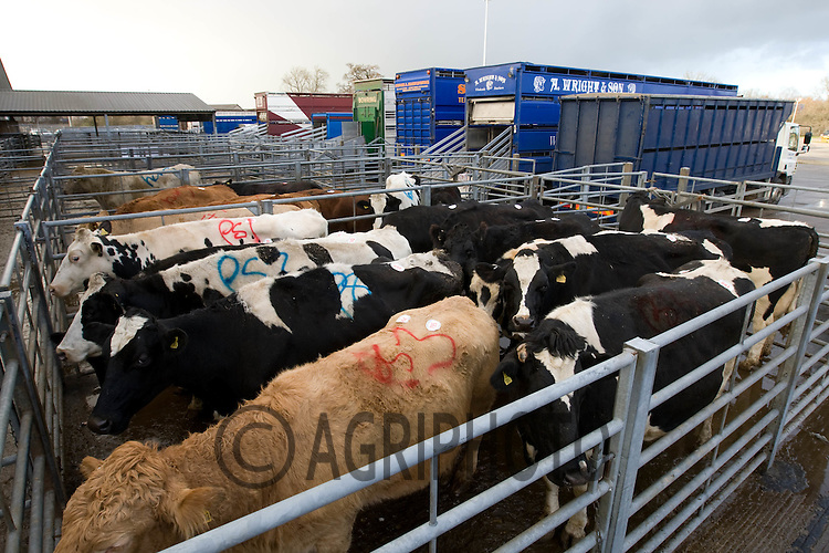Cull Cows in a livestock market.Picture Tim Scrivener date taken 7th December  2011 .mobile 07850 303986 e-mail tim@agriphoto.com.....covering Agriculture in The United Kingdom.....