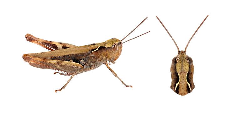 Heath Grasshopper - Chorthippus vagans - female