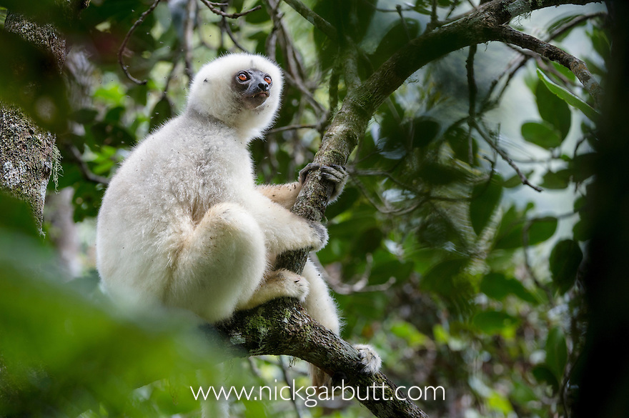 Adult male Silky Sifaka (Propithecus candidus) in forest canopy. Marojejy National Park, north east Madagascar (IUCN: Critically Endangered).