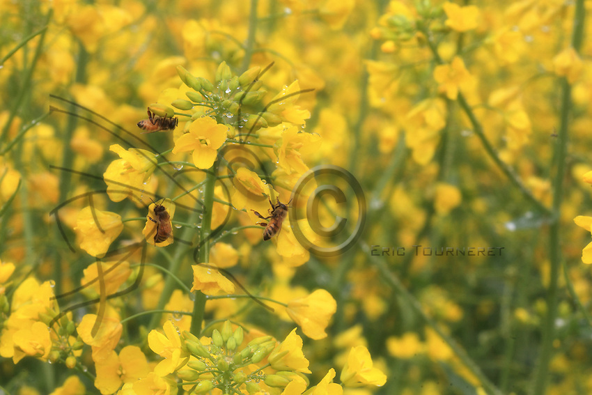 Bees are foraging Rape flowers.
