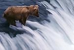 A bear hunts for salmon on  Brooks Falls, Katmai National Park, Alaska