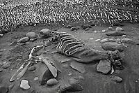 Southern Elephant Seal carcass on Heard Island, Antarctica