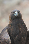 golden eagle,   Small photo for back of FB 403