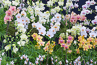 Phalaenopsis Orchids, variety and mix of types, colors, sizes from small to large, species, hybrids. white, orange, pink, white with colored lip, yellow