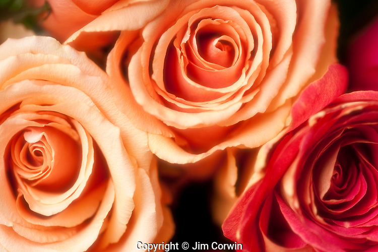 Showy Red, yellow and pink roses buched together close-ups