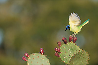 Green Jay (Cyanocorax yncas), adult landing on Texas Prickly Pear Cactus (Opuntia lindheimeri), Dinero, Lake Corpus Christi, South Texas, USA