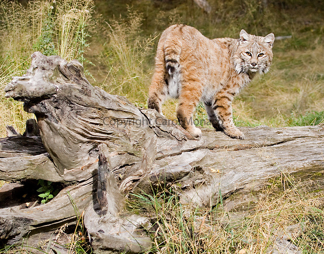 Bobcat looks back (facing the camera) while standing on a log in a field, Montana