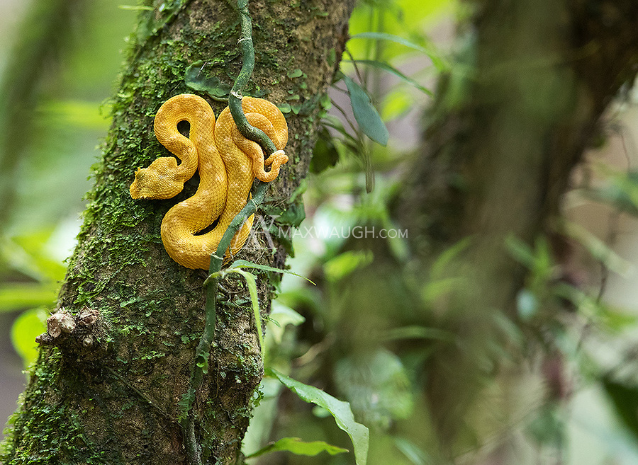 This baby viper was perched low to the ground near the trail.
