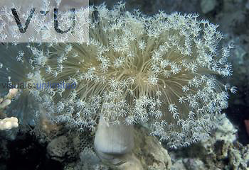 Soft Coral ,Dendronephythya,, Red Sea.