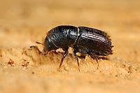 Buchdrucker, Großer Borkenkäfer, Fichtenborkenkäfer, Fichten-Borkenkäfer, Achtzähniger Borkenkäfer, Ips typographus, European spruce bark beetle, engraver beetle, common European engraver, spruce bark beetle, le bostryche typographe