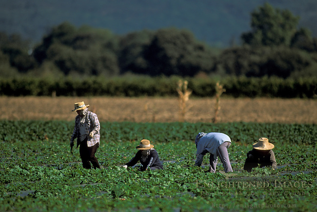 Field workers picking strawberrys, Sonoma Valley, Sonoma County, California